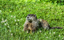 Groundhog in clover. Groundhog aka woodchuck Marmota monax strikes a pose in clover stock image