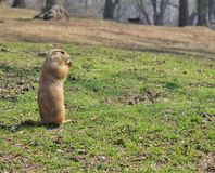 Groundhog com fome Foto de Stock Royalty Free