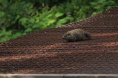 Groundhog croisant soigneusement le pont ouvert en grille Photo libre de droits