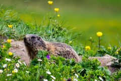 Groundhog curieux réveillé de l'hibernation au printemps Images libres de droits