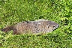 Groundhog dans l'herbe Photo libre de droits
