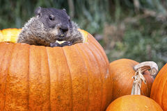Groundhog dans un potiron Photo libre de droits