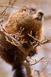 Groundhog, das auf einem kleinen Zweig sitzt Stockbild