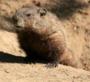 Groundhog, das aus Loch herauskommt stockfotos