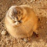 Groundhog, das ein Blatt isst Stockbilder