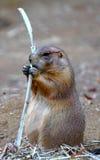 Groundhog, das einen Steuerknüppel isst Stockfotos