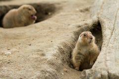 groundhog, das herum schaut lizenzfreie stockfotos