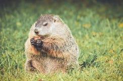 Groundhog, das Karotte in der Weinlesegarteneinstellung isst Lizenzfreie Stockfotos