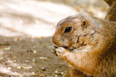 groundhog, das Lebensmittel isst lizenzfreies stockfoto