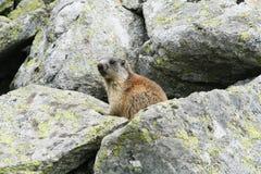 Groundhog, das nahe bei seinem Bau auf Felsen steht Lizenzfreie Stockfotos