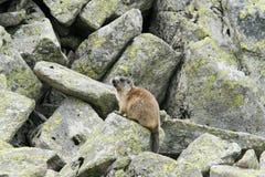 Groundhog, das nahe bei seinem Bau auf Felsen steht Stockbild