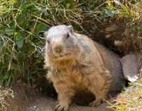 Groundhog davanti alla tana immagini stock libere da diritti