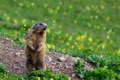 Groundhog de cri de marmotte sur le pré de floraison de ressort Photo libre de droits