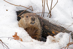 Groundhog. Den in the snow Royalty Free Stock Image