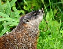 Groundhog die een bloem ruikt   Stock Foto's