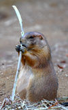 Groundhog die een stok eet Stock Foto's