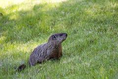 Groundhog die voedsel zoeken Royalty-vrije Stock Foto