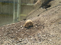 Groundhog. In dirt by water stock images
