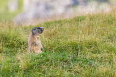 Groundhog of the Dolomites. Marmot alert near the hole on a meadow in the Dolomites royalty free stock photos