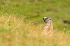 Groundhog of the Dolomites. Marmot alert near the hole on a meadow in the Dolomites royalty free stock images
