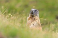 Groundhog dolomity Zdjęcia Stock