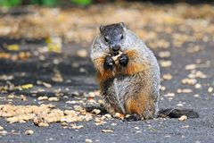 Groundhog Eating Royalty Free Stock Photography