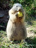 A groundhog eating an apple. A groundhog enjoying an apple as a snack in the French Alps stock photo