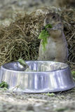 Groundhog eating a cabbage leaf from a big metal bowl. Photo of a cute groundhog eating a green cabbage leaf from a big metal bowl. Haystack in the background Royalty Free Stock Images