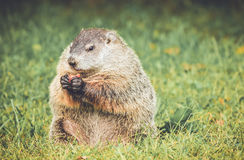 Groundhog eating carrot in vintage garden setting Royalty Free Stock Photos
