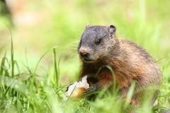 Groundhog eating in nature. During summer stock photos