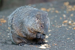 Groundhog. Eating a peanut with both hands stock photography