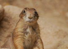 Groundhog effronté image libre de droits