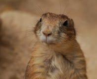 Groundhog effronté photo libre de droits