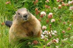 Groundhog em seu habitat natural fotos de stock royalty free