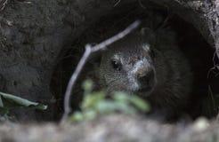 Groundhog en un cementerio Imagen de archivo libre de regalías