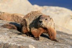 Groundhog - ente completo immagini stock