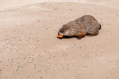 Groundhog gnawing a carrot stock images