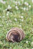 Groundhog Essen Stockfoto