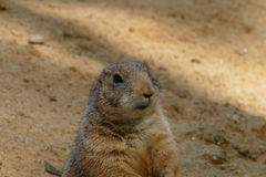 Groundhog. Fat red looking ground hog royalty free stock photos