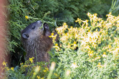 Groundhog feeding Royalty Free Stock Images