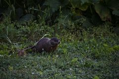 A groundhog feeding on the grass. In the middle of a field, brown, fur, green, nature, outdoor, summer, wild royalty free stock photo