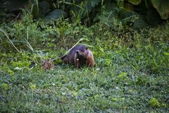 A groundhog feeding on the grass. In the middle of a field, brown, fur, green, nature, outdoor, summer, wild royalty free stock photos