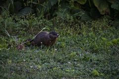 A groundhog feeding on the grass. In the middle of a field, brown, fur, green, nature, outdoor, summer, wild stock photography