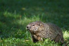 Groundhog feeding on weed. Royalty Free Stock Photos