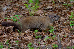 Groundhog between 2 ferns. Ground hog between twp ferns on a leafy slope royalty free stock images