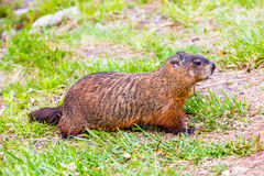 Groundhog - Frühlingstag in Edward Garden stockbild