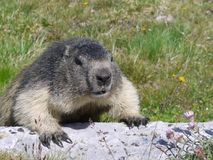 Groundhog in the French Alps. A groundhog enjoying the open air of the French Alps stock images