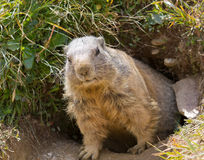 Groundhog in front of den royalty free stock images
