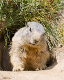Groundhog in front of den. Groundhog sitting in front of it's den in summer in Valais, Switzerland royalty free stock image