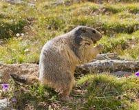 Groundhog in front of den stock photo